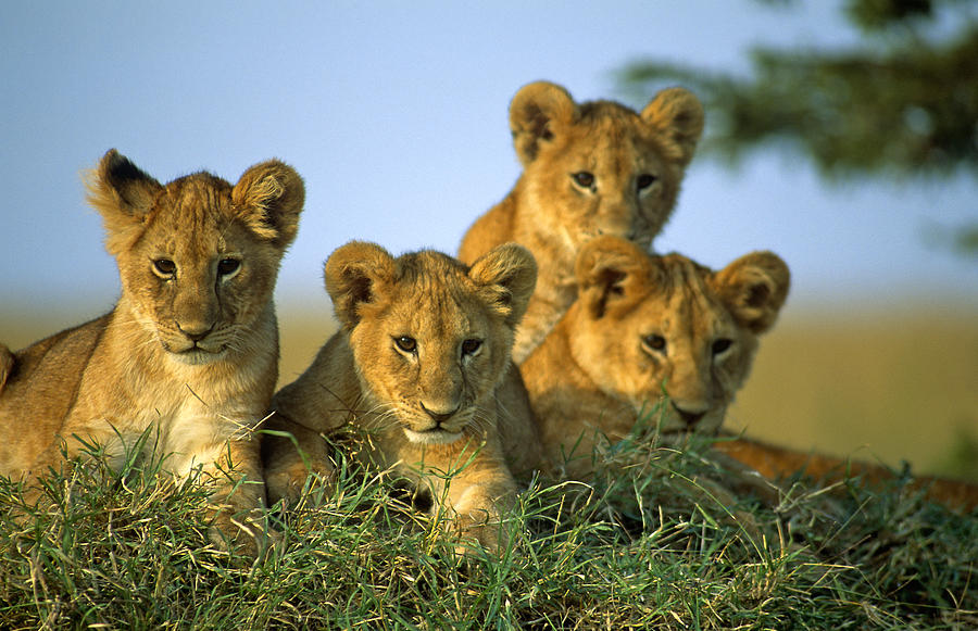 Lion Photograph - Four Lion Cubs by Johan Elzenga