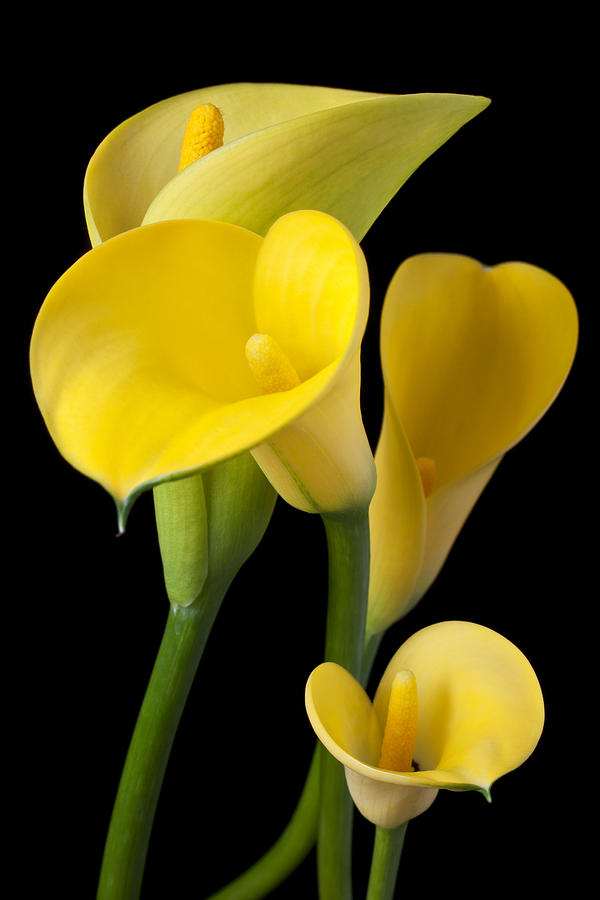 Yellow Photograph - Four Yellow Calla Lilies by Garry Gay
