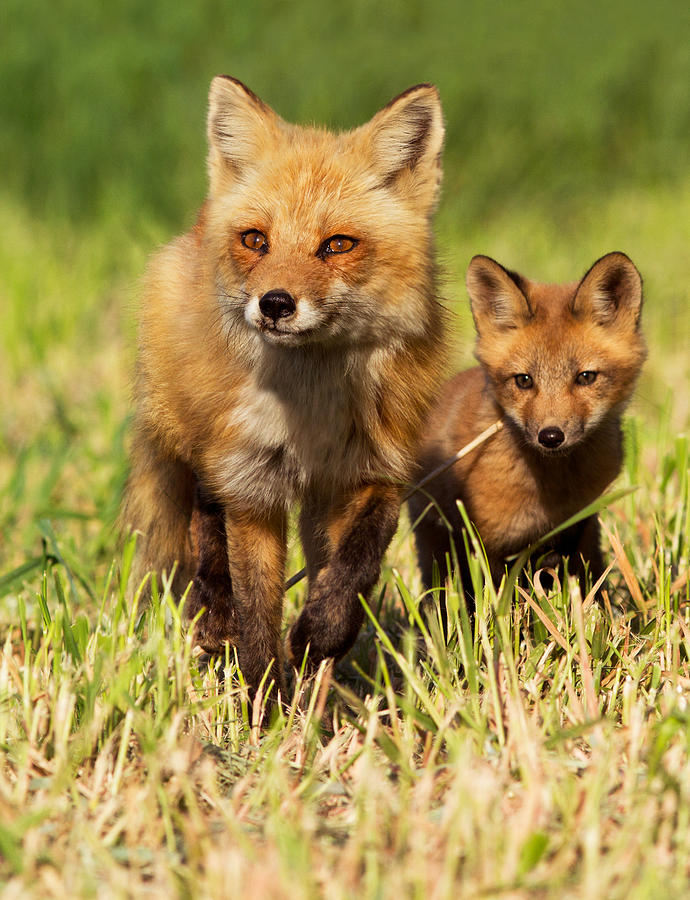 Pup Photograph - Fox Family by Mircea Costina Photography