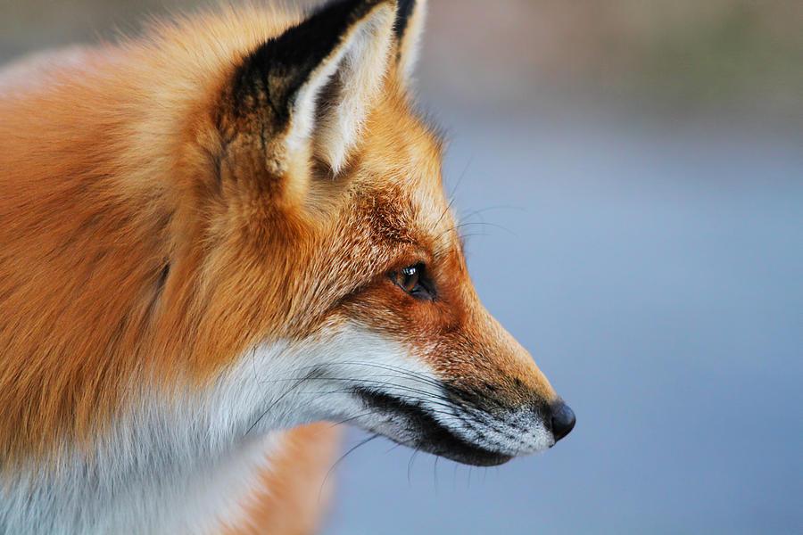 Fox Profile Photograph By Mircea Costina Photography