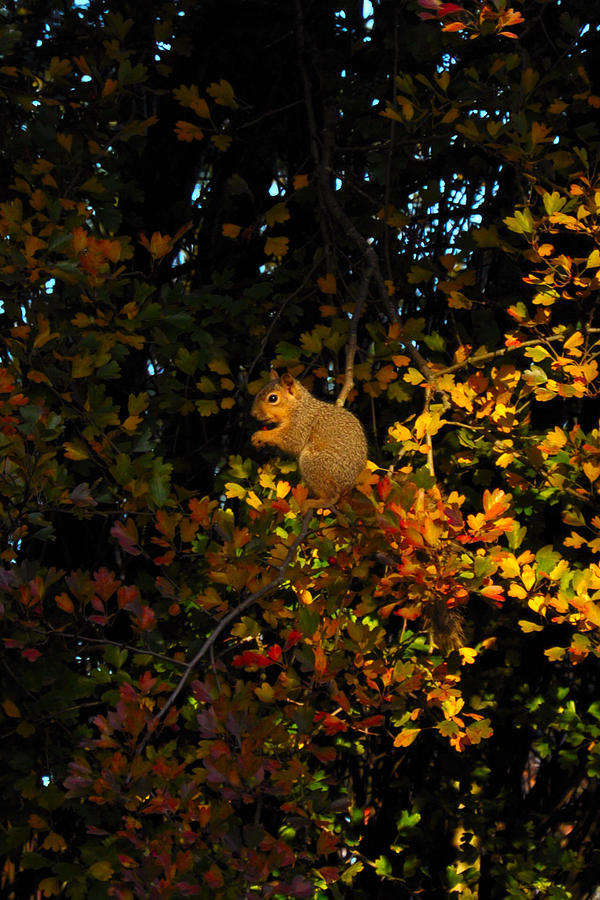 Squirrels Photograph - Fox Squirrel by Noah Cole