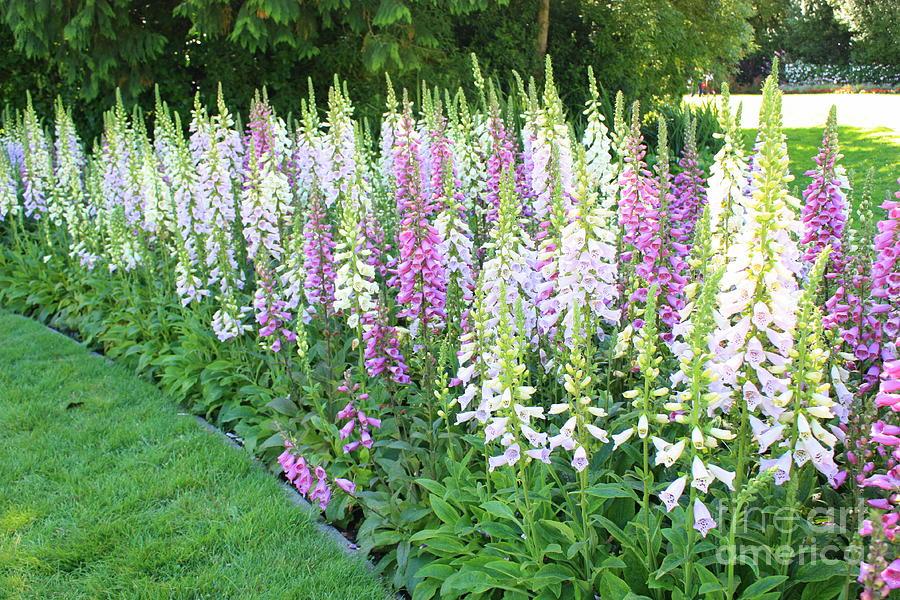 Foxglove Garden Photograph