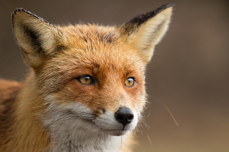 red fox face and - photo #7