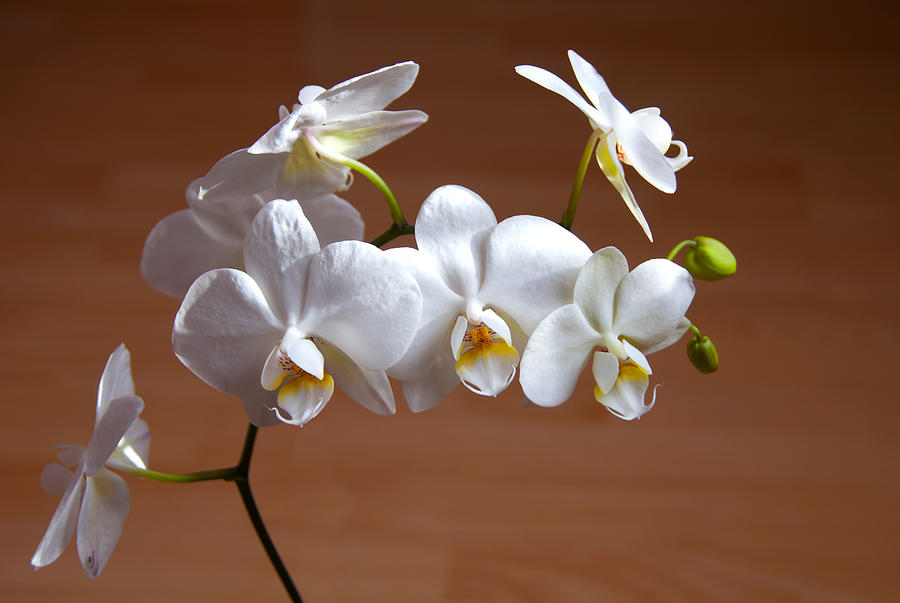 Anniversary Photograph - Fragile Orchid  by Svetlana Sewell
