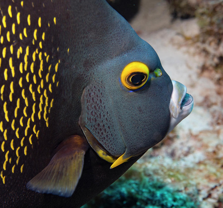 French angel fish closeup is a photograph by jean noren which was