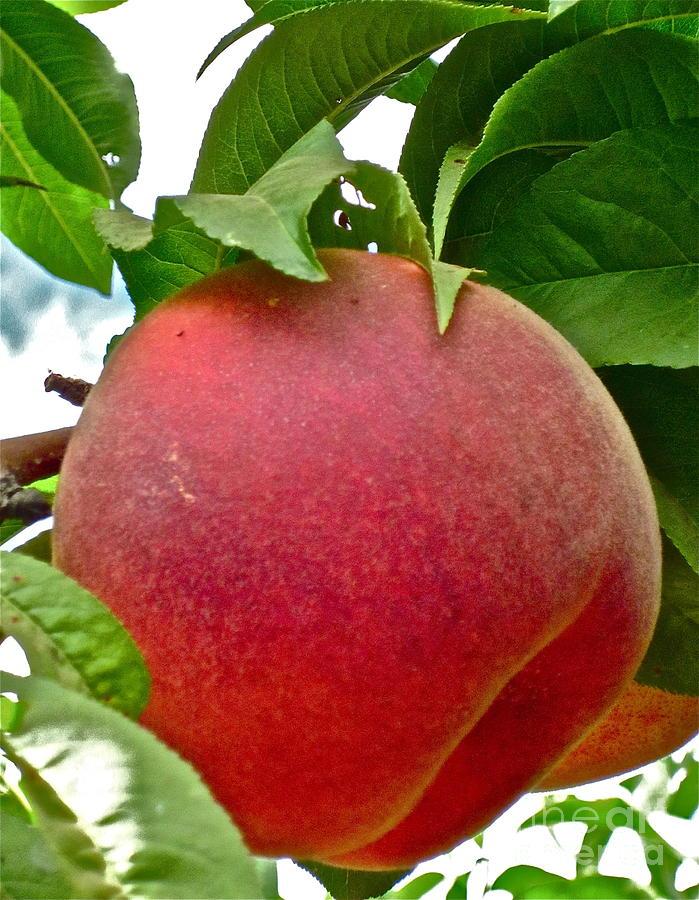Peach Photograph Photograph - Fresh Peach by Gwyn Newcombe