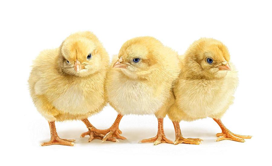 Chicks Digital Art - Friends Stick Together by Bob Nolin