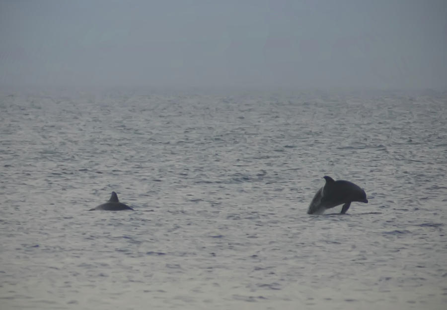 Frolicking Photograph - Frolicking Dolphins by Bill Cannon