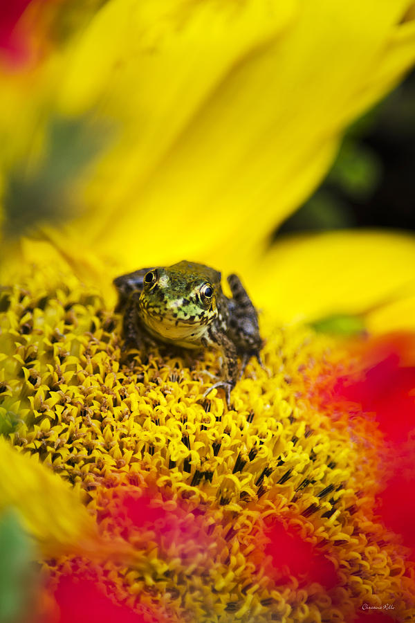 Frog Photograph - Funny Frog On A Sunflower by Christina Rollo