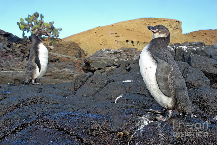 Galapagos Penguins Photograph
