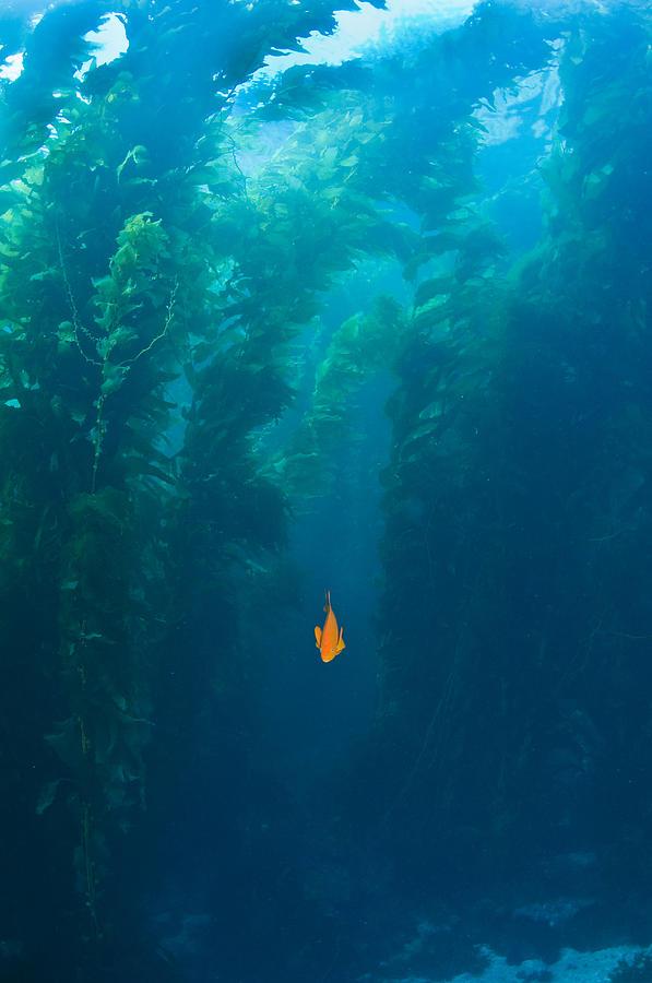 Animal Theme Photograph - Garibaldi Fish In Giant Kelp Underwater by James Forte