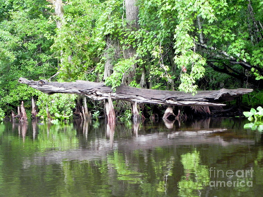 Wekiva Photograph - Gator Stump by Jack Norton