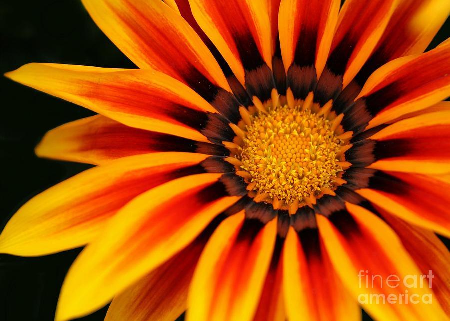 Flower Photograph - Gazania R by Sabrina L Ryan
