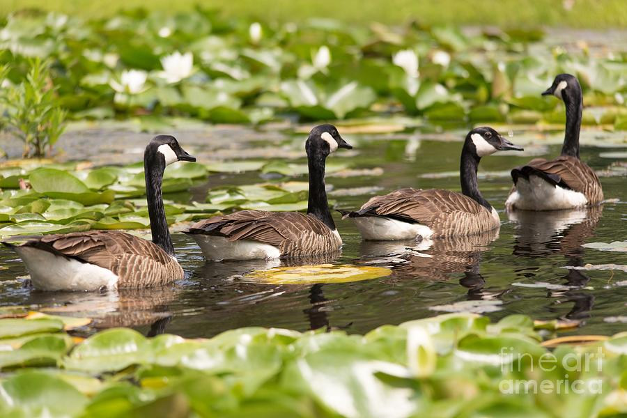 Geese In A Row Photograph