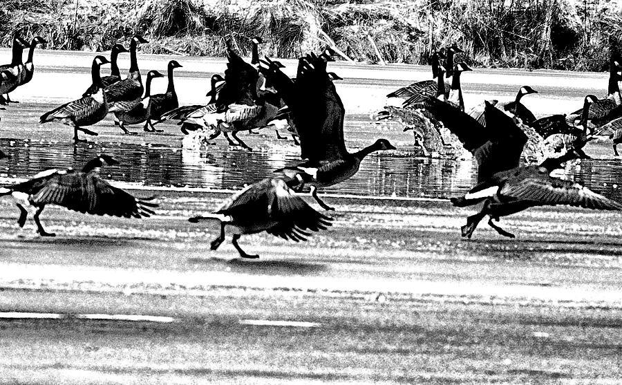 Geese On Ice Taking Flight Photograph
