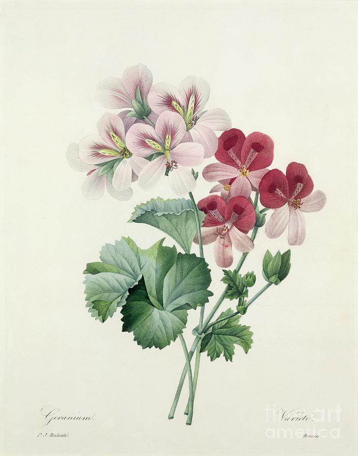 Geranium Drawing - Geranium Variety by Pierre Joseph Redoute