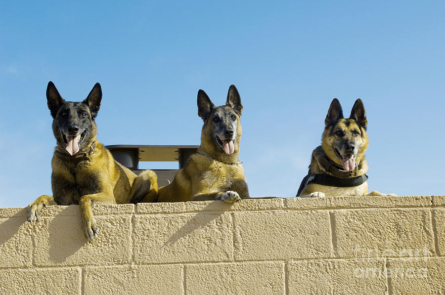 Canine Photograph - German Shephard Military Working Dogs by Stocktrek Images