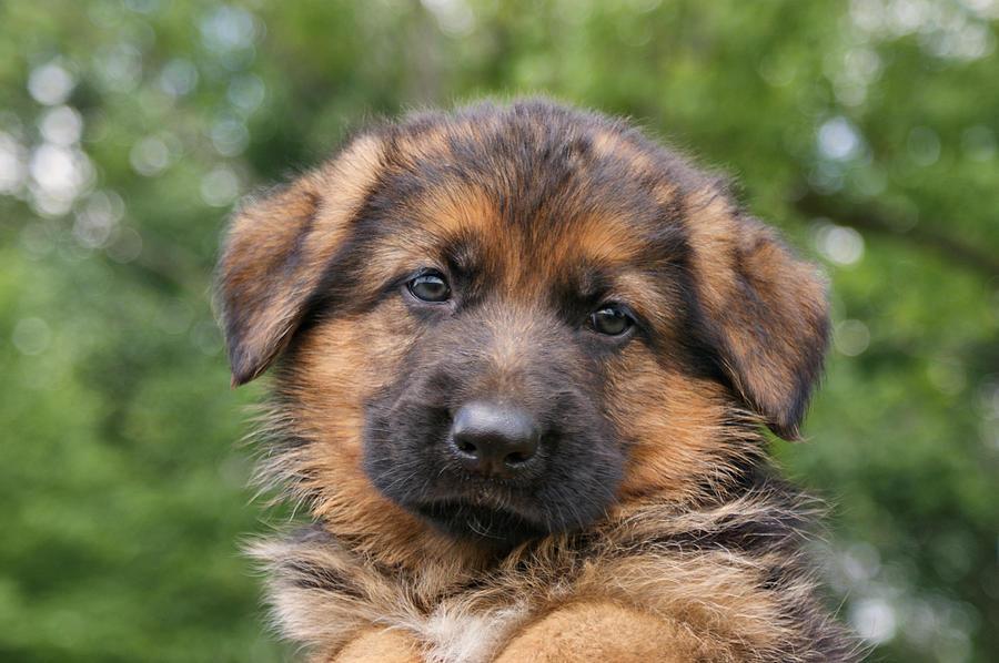 Dogs Photograph - German Shepherd Puppy II by Sandy Keeton