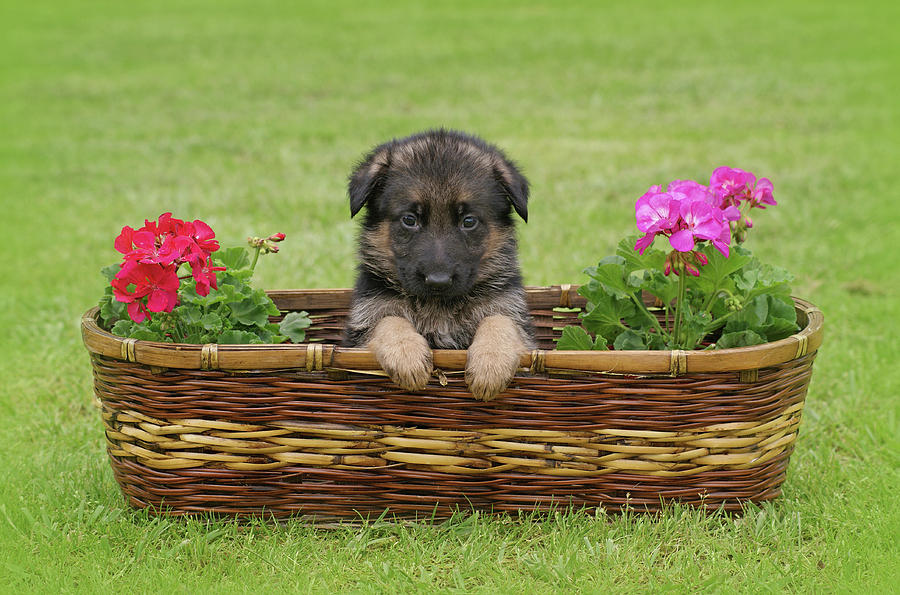 German Shepherd Photograph - German Shepherd Puppy In Basket by Sandy Keeton