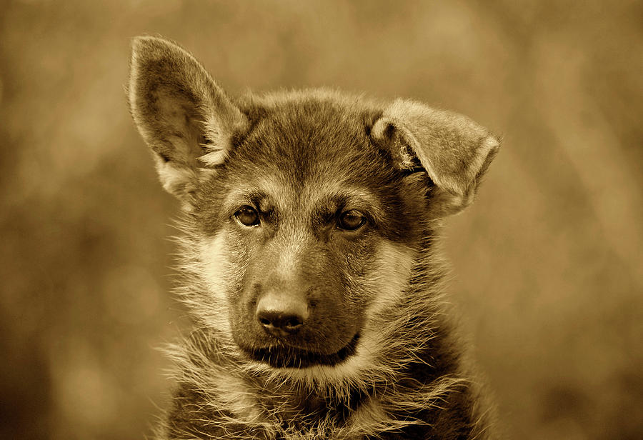 German Shepherd Puppy In Sepia Photograph