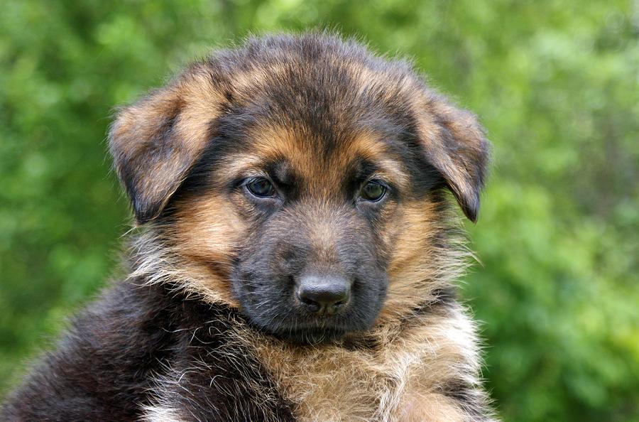 German Shepherd Photograph - German Shepherd Puppy by Sandy Keeton
