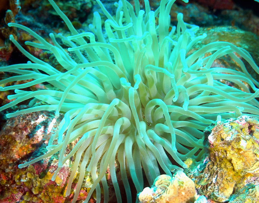 Giant Green Sea Anemone Photograph by Amy McDaniel