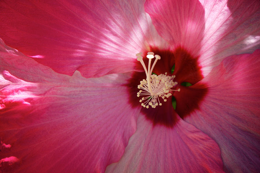 China Rose Photograph - Giant Hibiscus by Mary Lee Dereske