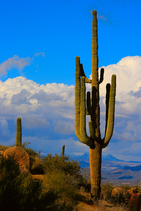 Saguaro Photograph - Giant Saguaro In The Southwest Desert  by James BO  Insogna