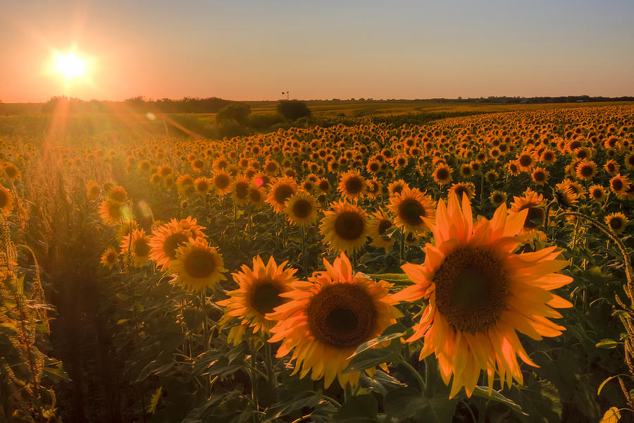 Glowing Sunflowers Photograph