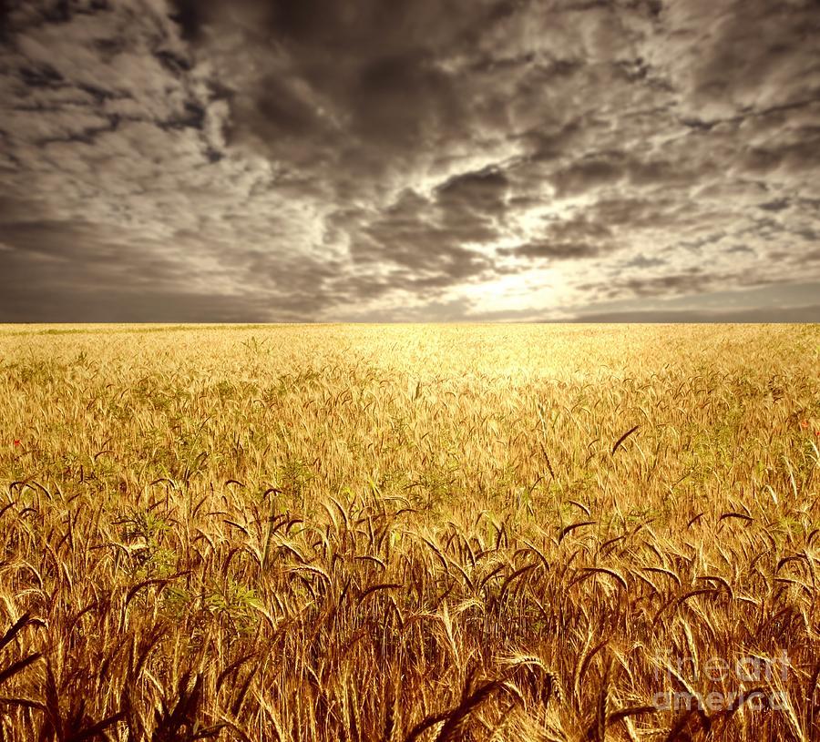 Golden  Photograph - Golden Beautiful Wheat Farm by Boon Mee