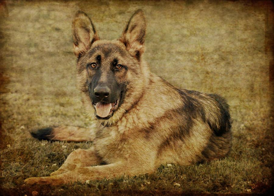 Dog Photograph - Golden Boy by Sandy Keeton