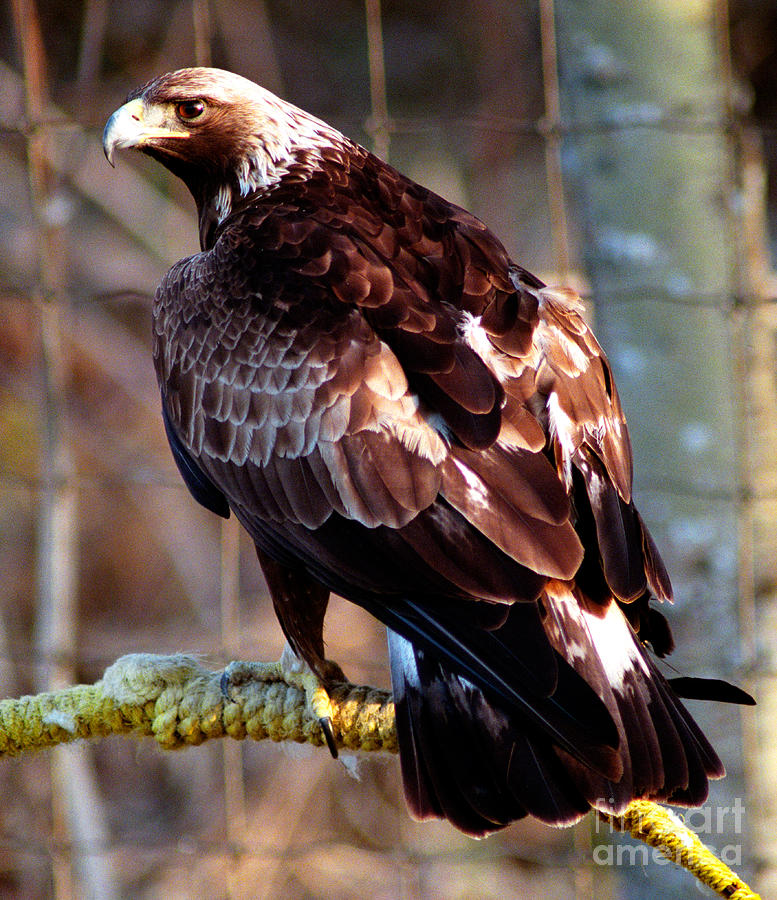 Golden Eagle Photograph - Golden Eagle by Terry Elniski