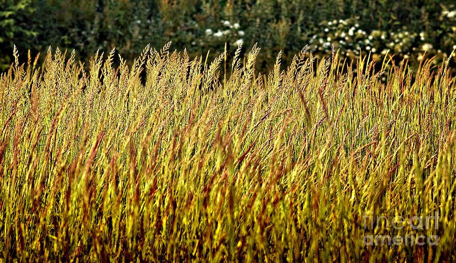 Grass Photograph - Golden Grasses by Meirion Matthias