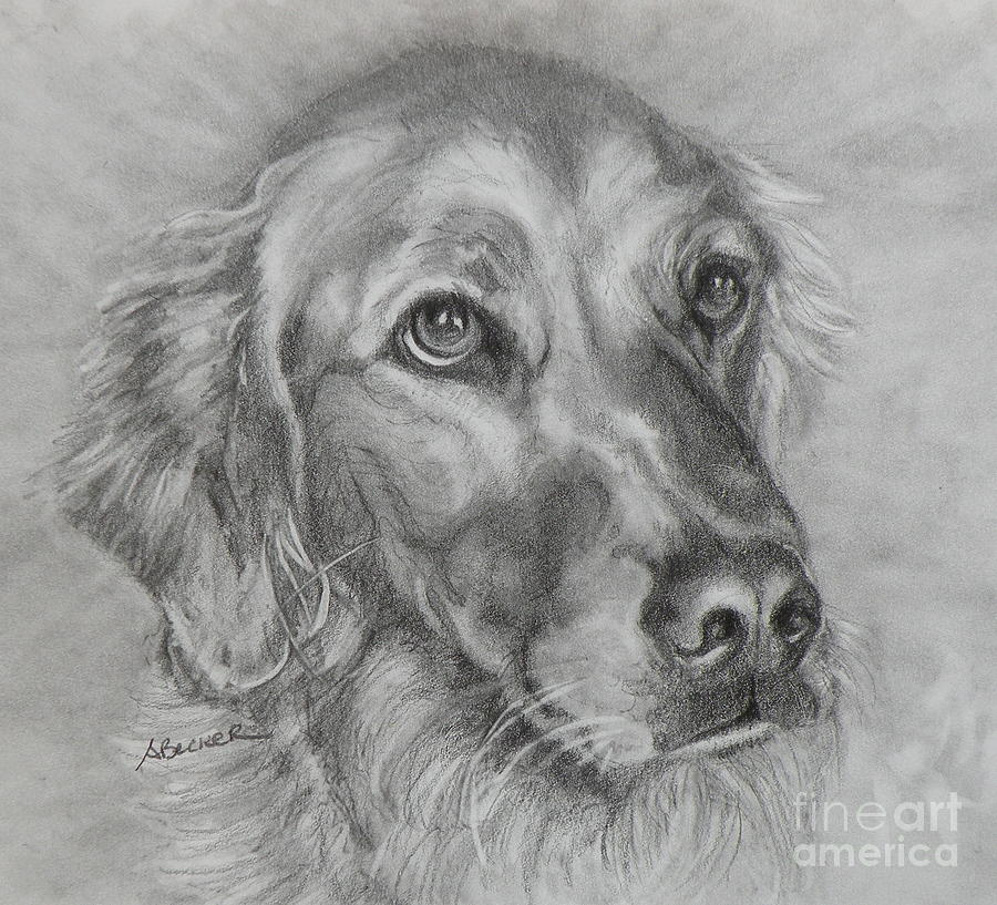 Dogs Painting - Golden Retriever Drawing by Susan A Becker