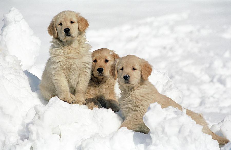 Golden Retriever Puppies In Snow P Ograph By Stan Fellerman
