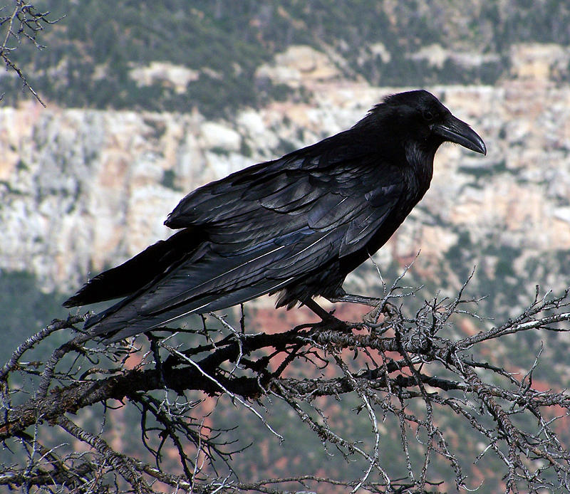 Nature Photograph - Grand Canyon Raven II by Mirinda Kossoff