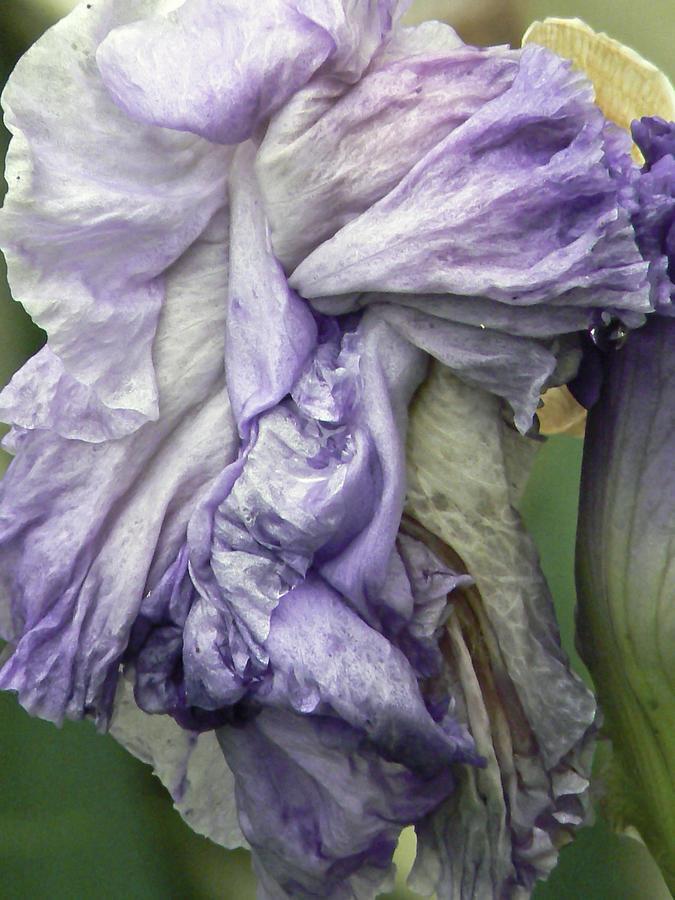 Iris Photograph - Grande Dame  by Pamela Patch