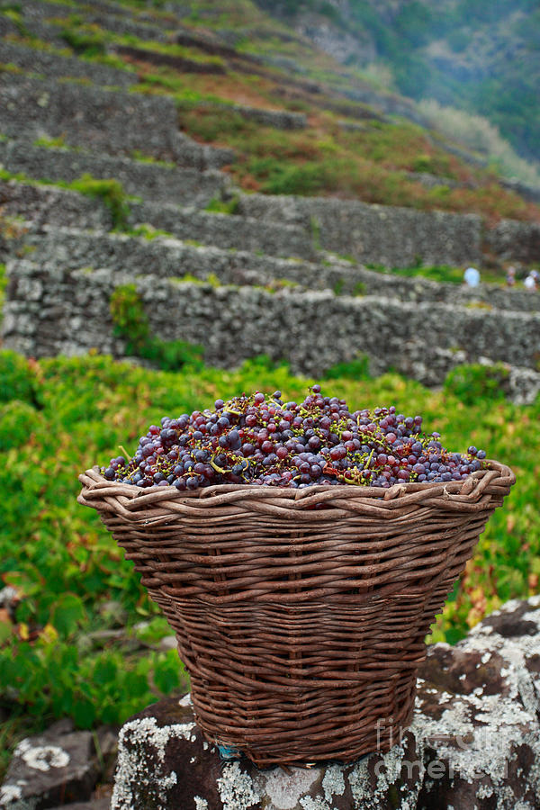 Basket Photograph - Grape Harvest by Gaspar Avila