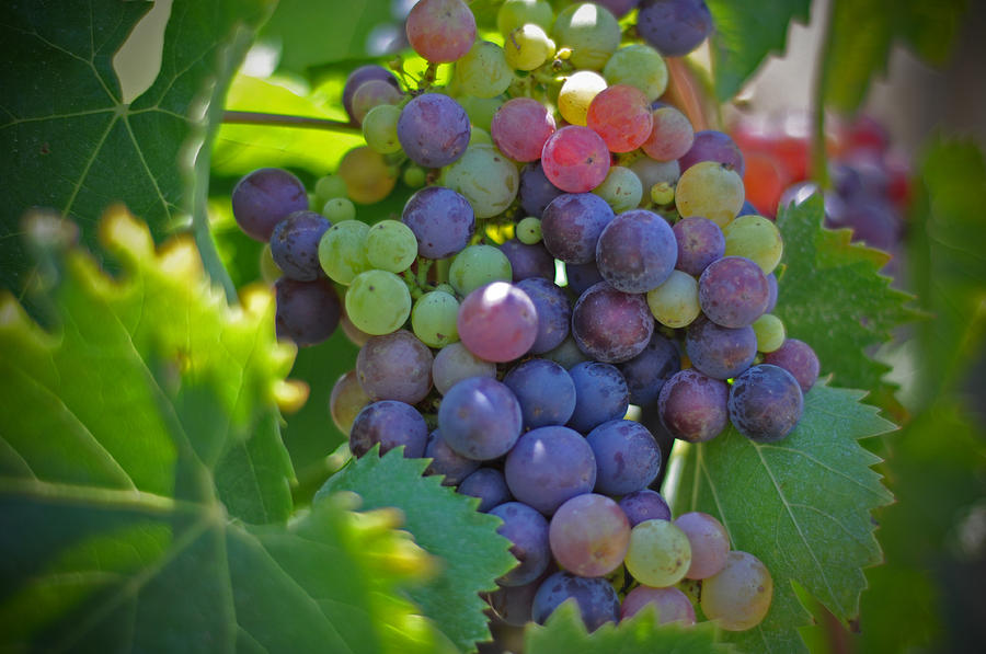 Grapes Winery Wine Leaves Landscape Photography Canvas Greeting Cards Fruit Grape Vine Vino Vineyard Photograph - Grapes by Kelly Wade