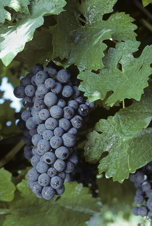 Grapes Photograph - Grapes On The Vine by Kenneth Garrett
