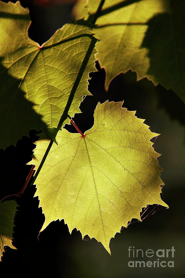 Grapevine In The Back Lighting Photograph