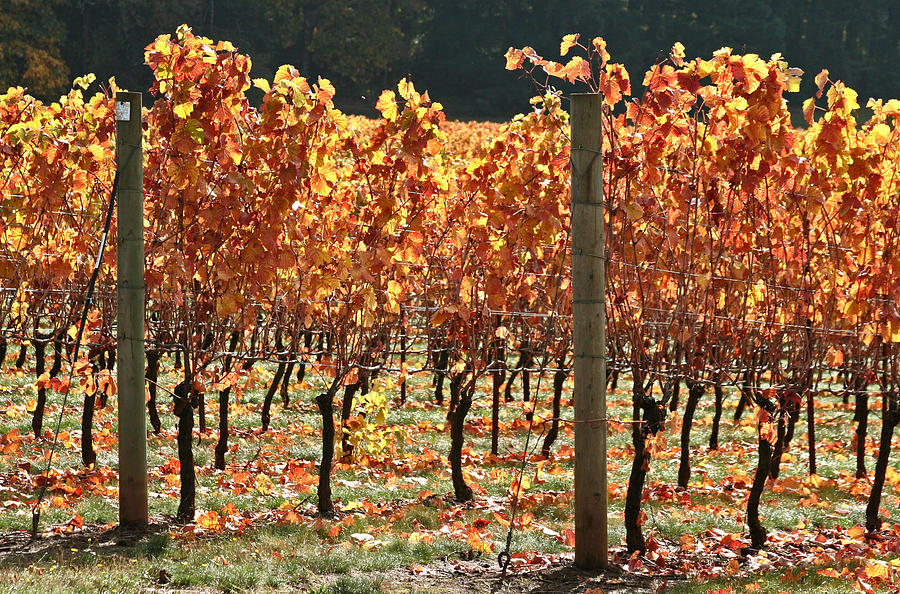 Grapevines After The Harvest Photograph
