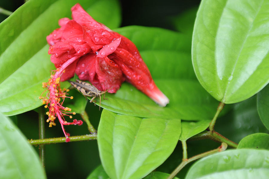 Red Photograph - Grasshopper And Hibiscus by Jessica Rose