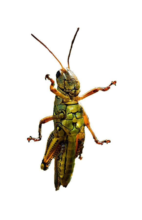 Grasshopper II Photograph