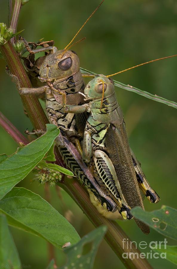 Sex Photograph - Grasshopper Sex by Warren Sarle