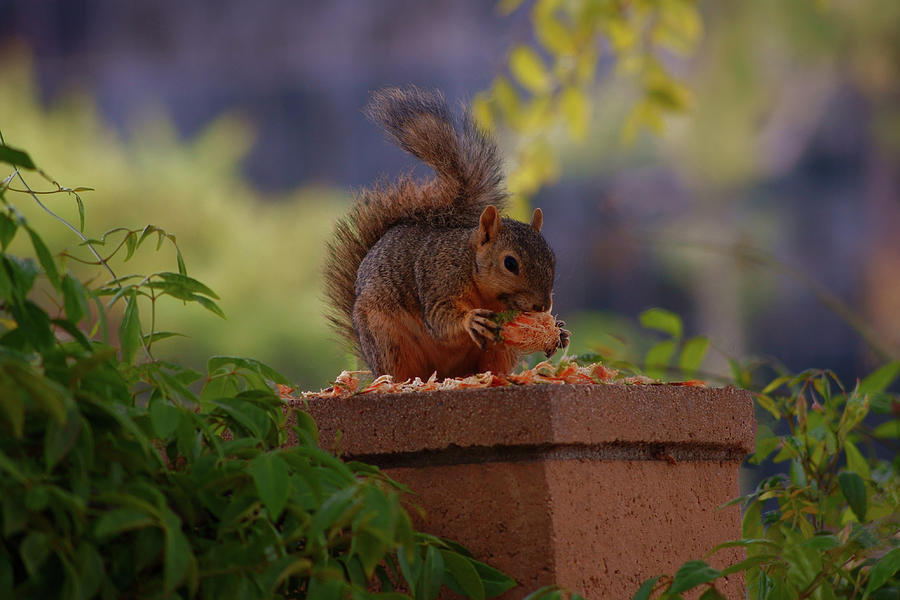 Munching Squirrel Photograph