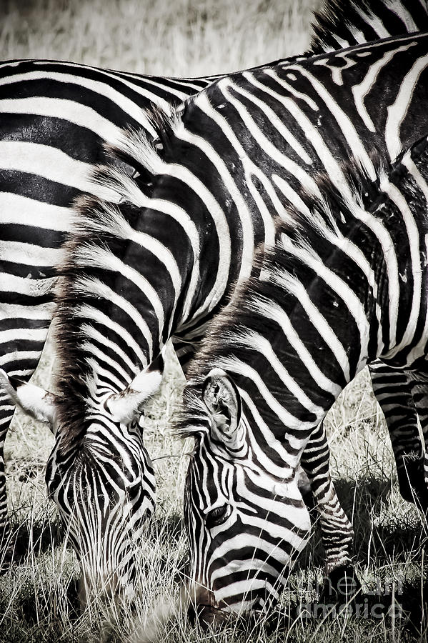 Africa Photograph - Grazing Zebras Close Up by Darcy Michaelchuk