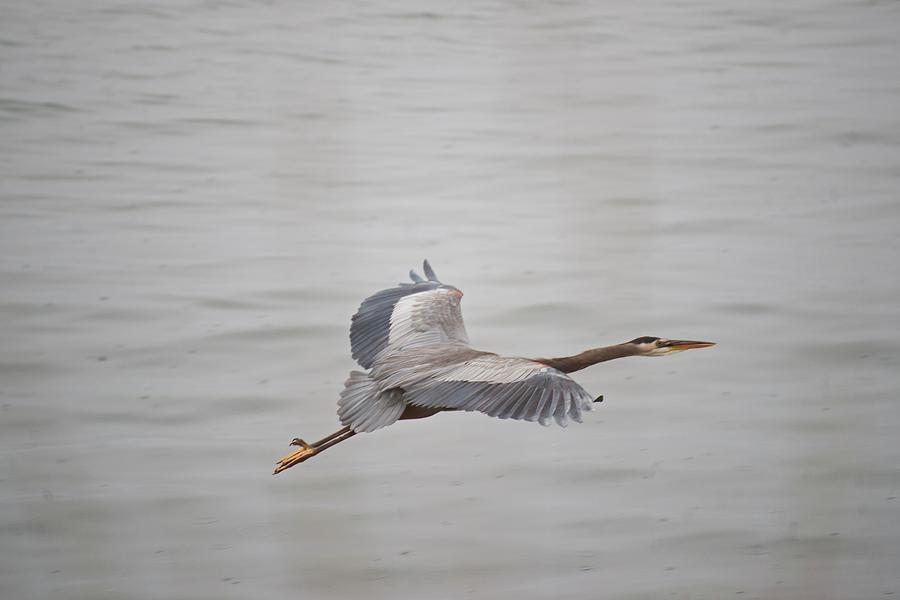Great Blue Heron In Flight Photograph