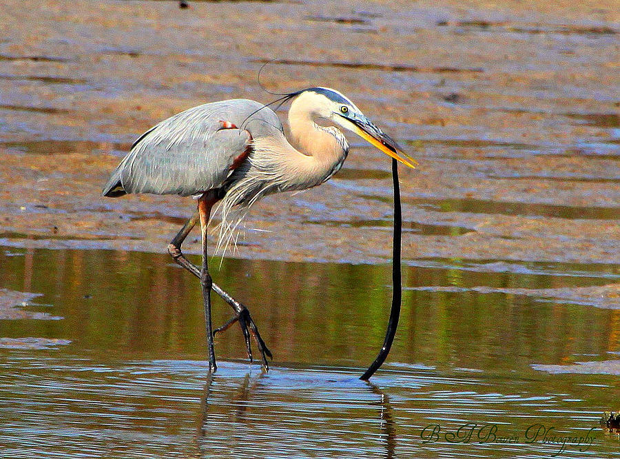 Great Blue Heron Wrestles A Snake Photograph
