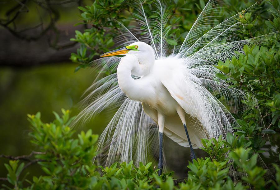 Great Egret Nesting St Augustine Florida Coastal Bird